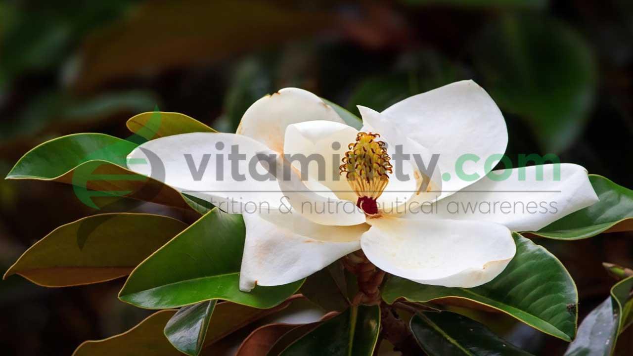 Onochiolo, l'estratto naturale della Magnolia